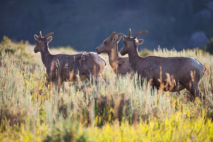 Bighorn Morning